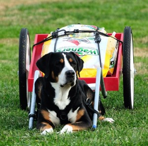 Saved By Dogs Swiss Mountain Dogs Appenzeller