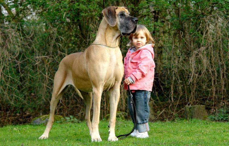 Deutsche Dogge: photo of a dog