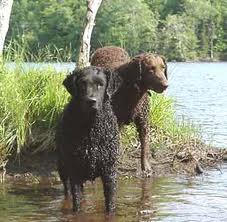 Saved by dogs : Flat Coated and Curly Coated Retrievers