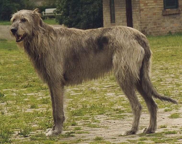 File:Irish Wolfhound Sam.jpg
